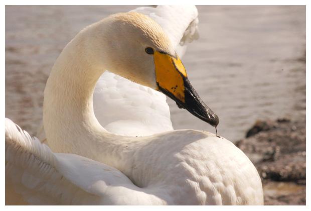 wilde zwaan (cygnus cygnus), wit, witte zwanen, zwaantje,  zwaantjes, zwanenfoto´s, vogel, vogels, vogelfotos, vogelfoto´s, watervogel, watervogels, dier, dieren, dierenfoto´s, dierenfotos