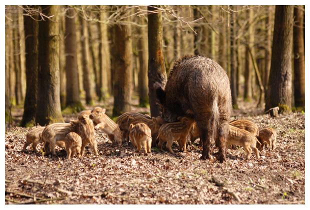 foto's, Wild zwijn of Everzwijn (Sus scrofa)