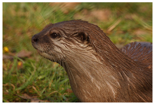 foto's, Europese otter of visotter (Lutra lutra), dier