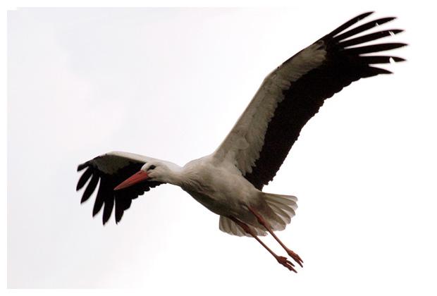 foto's, Ooievaar (Ciconia ciconia), vogel