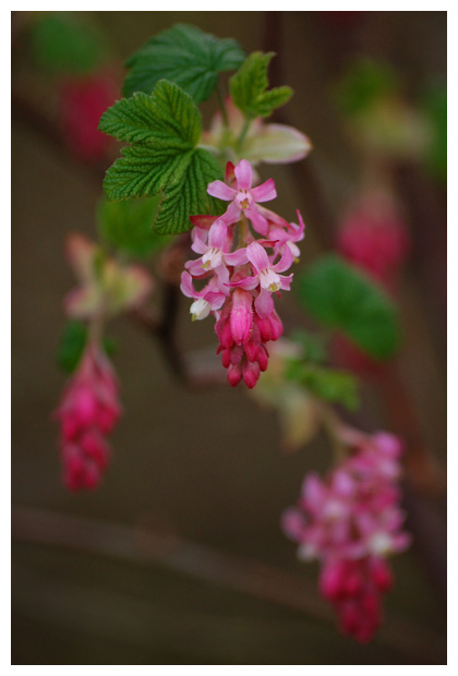 foto's, Rode ribes (Ribes sanguineum), heester