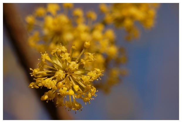 gele kornoelje (cornus mas), kornoeljefamilie (cornaceae), geel, sierstruik, vruchtboom, eetbaar