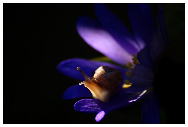 segrijnslak of kleine wijngaardslak (cornu aspersum of helix aspersa), familie (helicidae), landslakken (stylommatophora), slak, slakje, slakjes, slakken, slakfoto´s, slakkenfoto´s, huisslak, huisjeslak, huisjesslak, huis, huisje, huisjes, weekdier, weekdieren, weekdiertje, (mollusca), buikpotig, buikpotigen, (gastropoda)