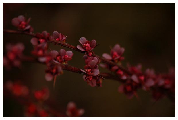 foto's, Japanse berberis (Berberis thunbergii), heester