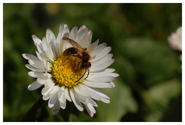 foto's, Madeliefje (Bellis perennis), plant