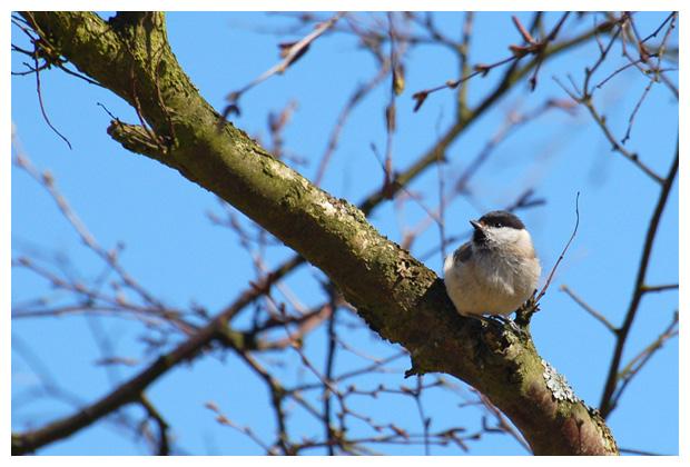 foto's, Matkop (Parus montanus), vogel