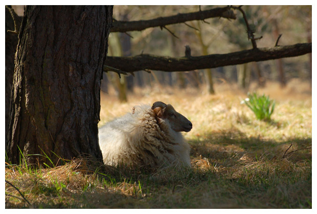 foto's, Schaap (Ovis), dier