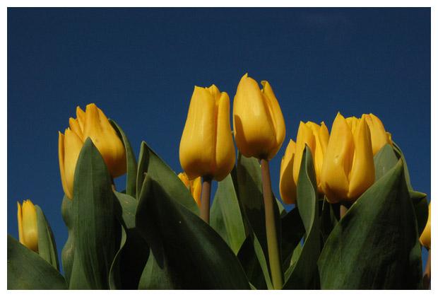 tulp, tulpen