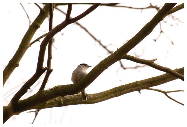 foto's, Zwartkop (Sylvia Atricapilla), vogel