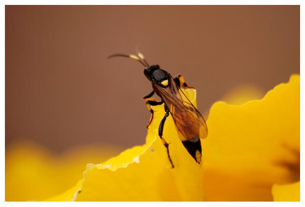 foto's, Sluipwesp (Ichneumon suspiciosus), insect