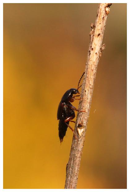 foto's, diverse verschillende soorten Kortschildkevers (Staphylinidae), kever