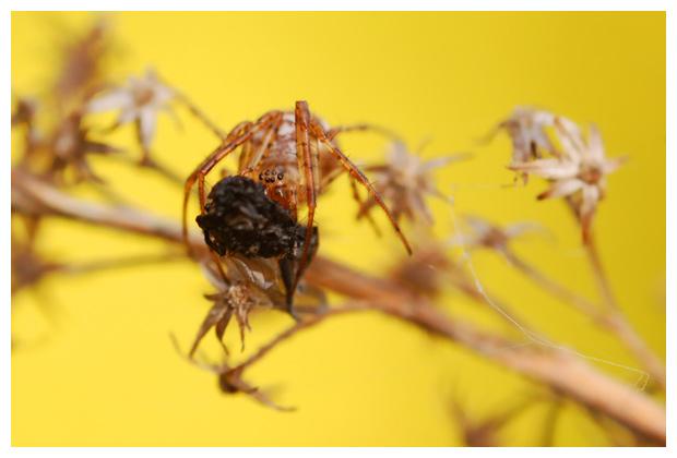 kruisspin (araneus diadematus), kruisspinnen, kruisspinnetje, kruisspinnetjes, kruisspinfoto´s, spinfoto´s, spinnefoto's, spinnenfoto's, spin, spinnen, spinnetje, spinnetjes, met prooi, vlieg, vliegje