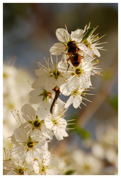 Kleine bijvlieg (Eristalis arbustorum), zweefvlieg