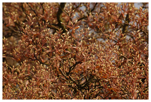 foto's, Amerikaans krentenboompje (Amelanchier lamarckii), heester