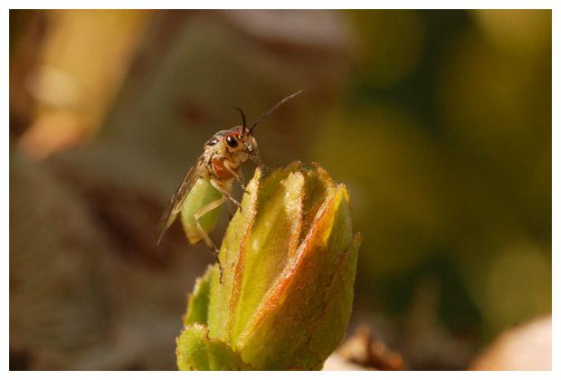 foto's, Nematus spec., bladwesp