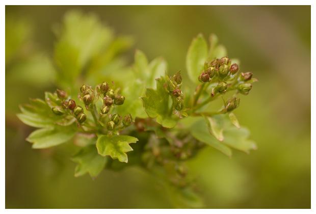 eenstijlige meidoorn (crataegus monogyna), zaadplant, (spermatopsida), (rosales), rozenfamilie (rosaceae)