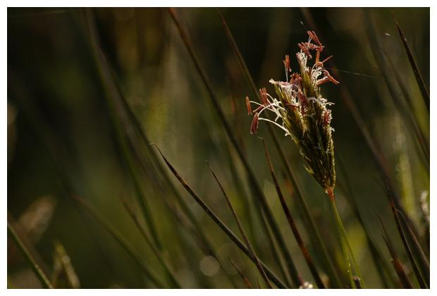 foto's, Gewoon reukgras (Anthoxanthum odoratum), gras