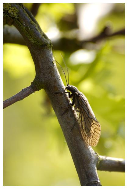 foto's, Grootvleugeligen (Megaloptera)