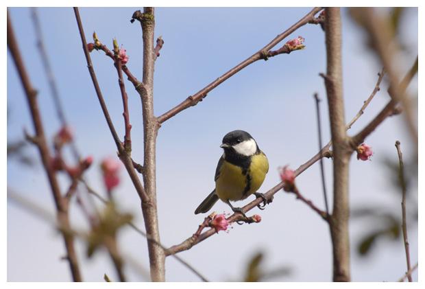 foto's, Koolmees (Parus major), vogel