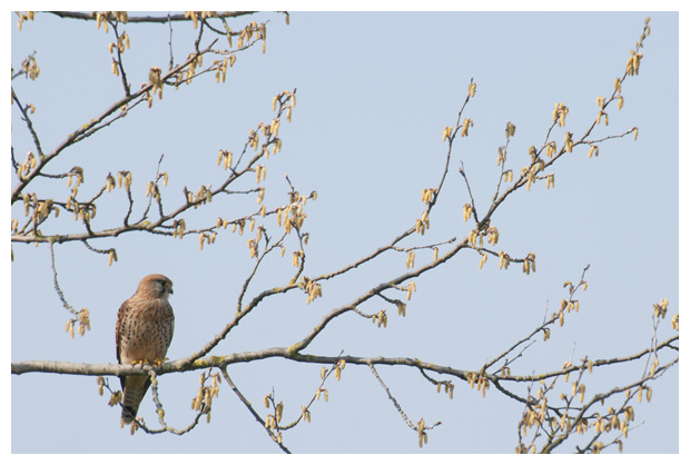 foto's, Torenvalk (Falco tinnunculus), valk