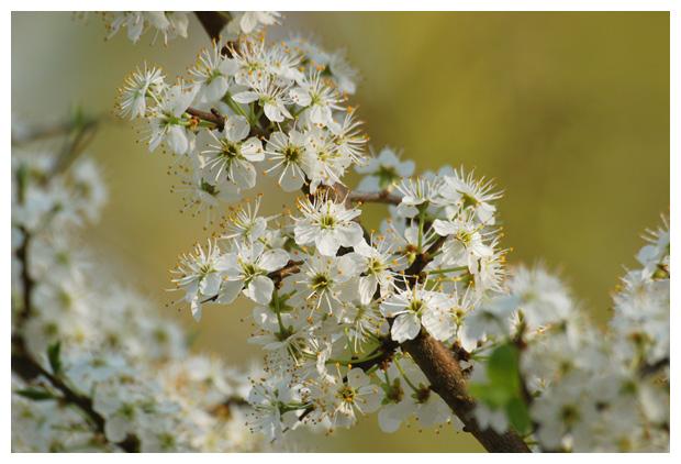 foto's, Sleedoorn (Prunus spinosa), heester