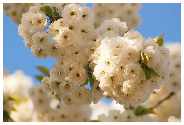 foto's, Prunus avium 'Plena', dubbele witte  bloesem