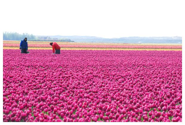 foto tulp, tulpen