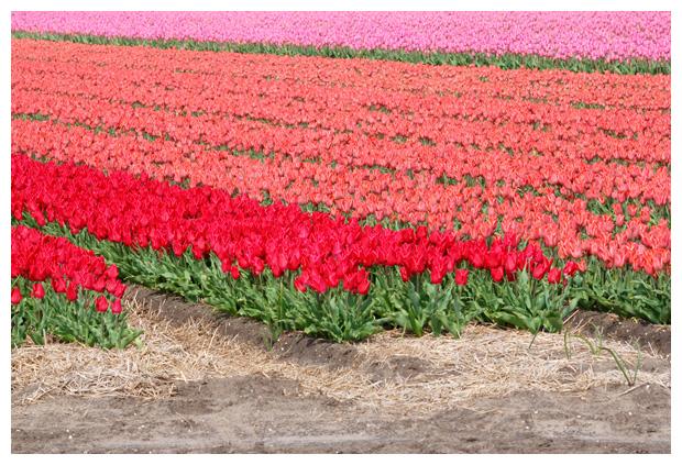foto tulp, tulpenveld