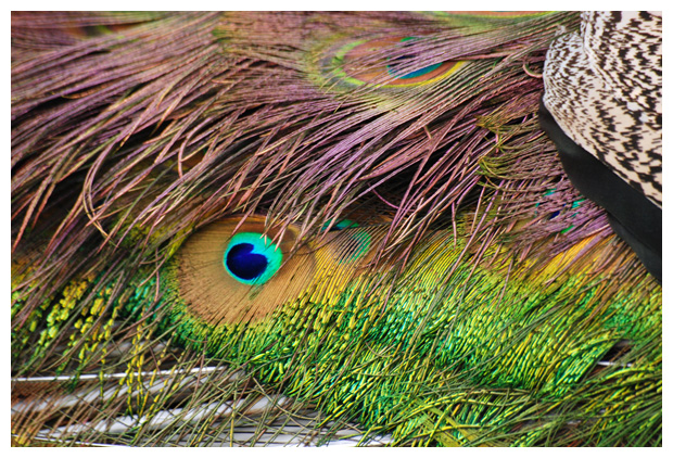 foto's, Pauw (Pavo cristatus), vogels
