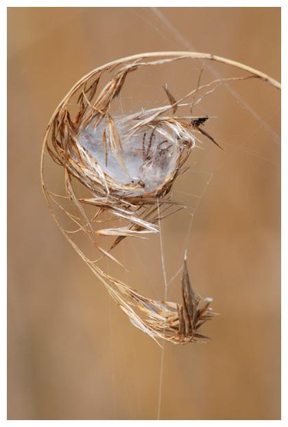 foto´s, Rietkruisspin (Larinioides cornutus), spin