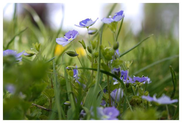 foto's, Draadereprijs (Veronica filiformis), plant