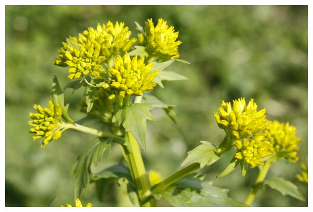foto's, Herik (Sinapis arvensis), plant