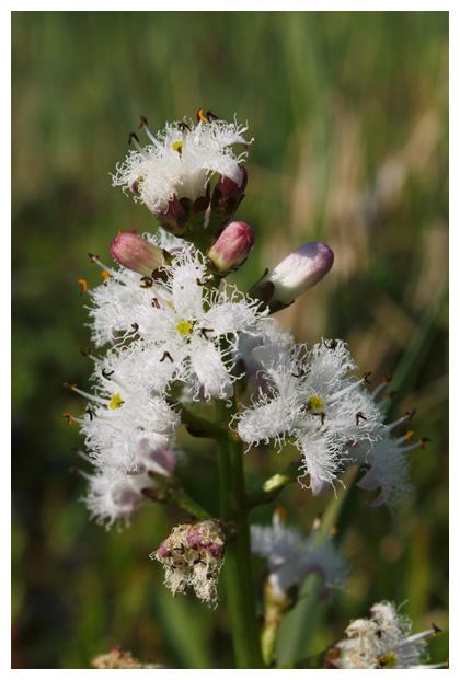 foto's, Waterdrieblad (Menyanthes trifoliata), waterplant