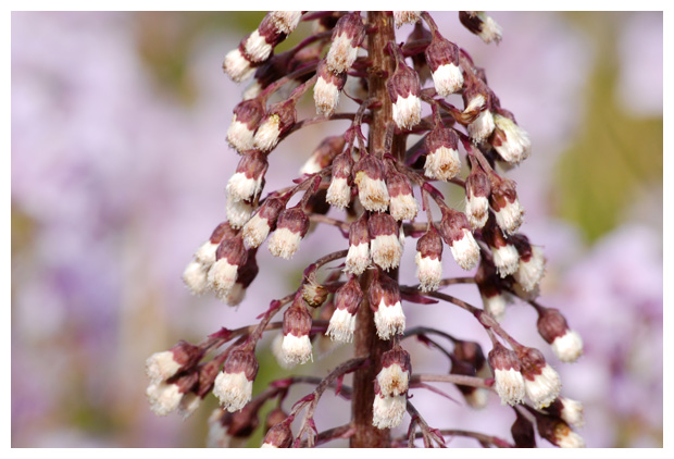 foto's, Groot hoefblad (Petasites hybridus), plant