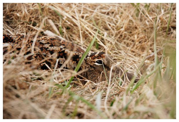 foto´s, Houtsnip (Scolopax rusticola), vogel