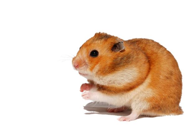 foto´s, Hamster, Syrische hamster