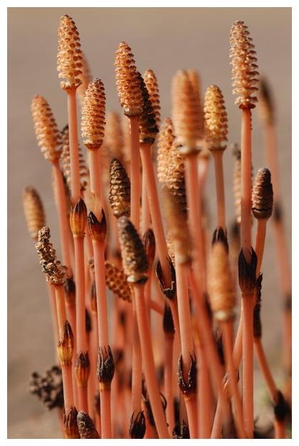 foto´s, Heermoes (Equisetum arvense), plant