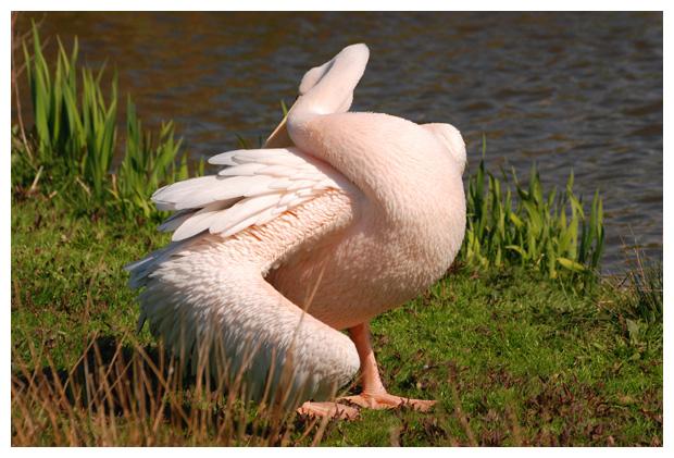 foto's, Roze pelikaan (Pelecanus onocrotalus)