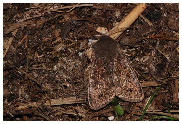 foto's, Populierenvoorjaarsuil (Orthosia populeti), vlinder