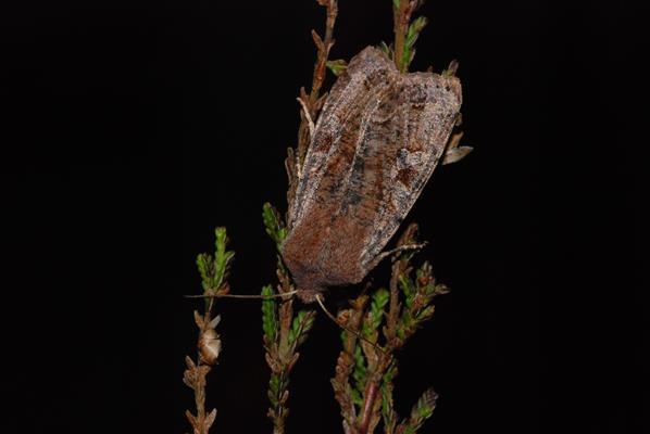 foto's, Variabele voorjaarsuil (Orthosia incerta), nachtvlinder