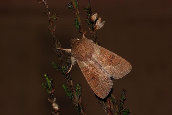 foto's, Eikenvoorjaarsuil (Orthosia miniosa), nachtvlinder