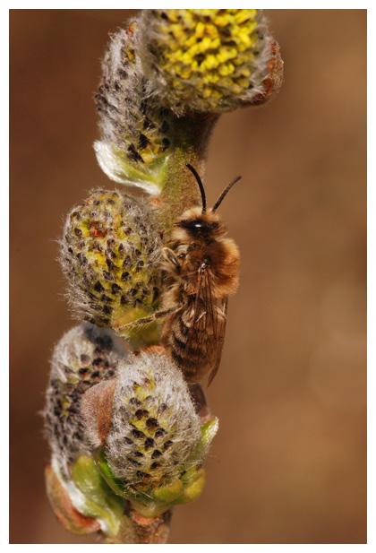 foto´s, Grote Zijdebij (Colletes cunicularius), bij