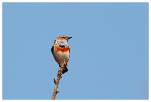 foto's, Blauwborst (Luscinia svecica), vogel