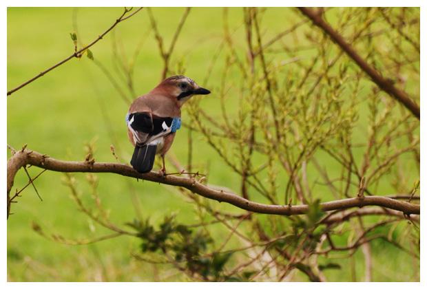 foto's, Gaai (Garrulus glandarius), vogel