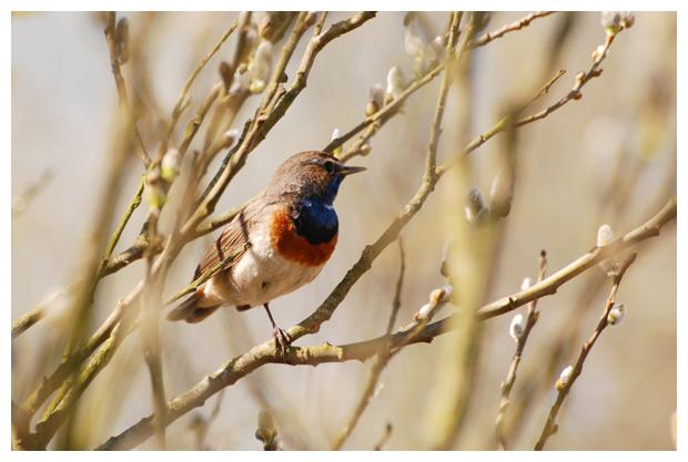 foto´s, Blauwborst (Luscinia svecica), vogel
