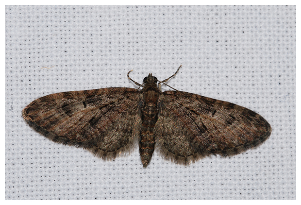 foto's, Eikendwergspanner (Eupithecia dodoneata), vlinder