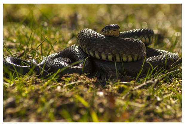 foto's, Ringslang (Natrix helvetica), slang, reptiel