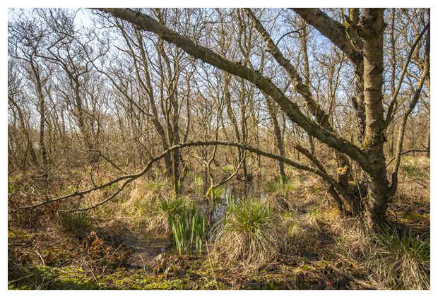 foto's, Stijve zegge (Carex elata), gras