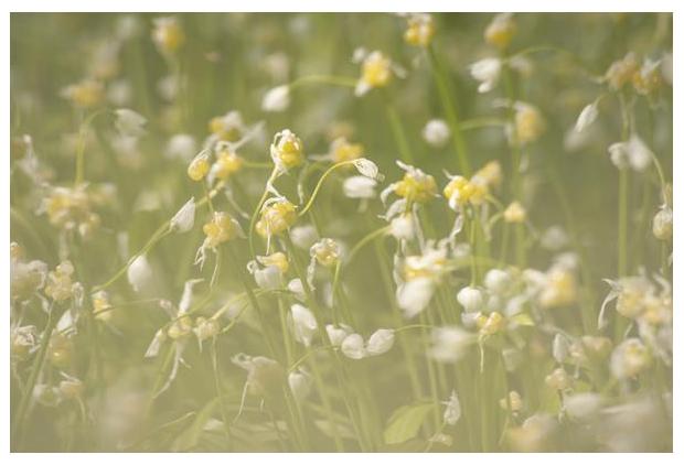 foto's, Armbloemig look (Allium paradoxum), ui