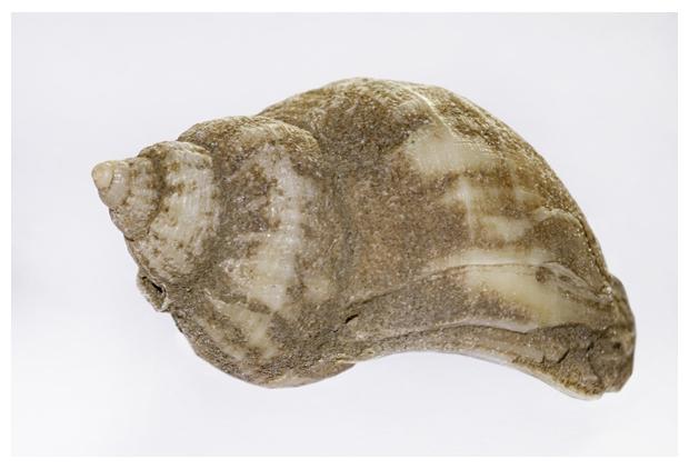 foto's, Ruwe zeerasp (Hydractina echinata), poliep